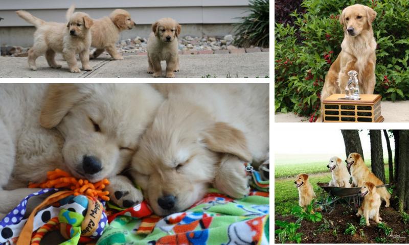 Huntleigh Goldens Golden Retrievers Puppies Breeders